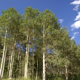 Grove of Aspen Trees