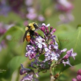 Lilacs and the Bumble Bee