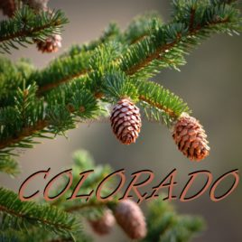 COLORADO Pine Tree