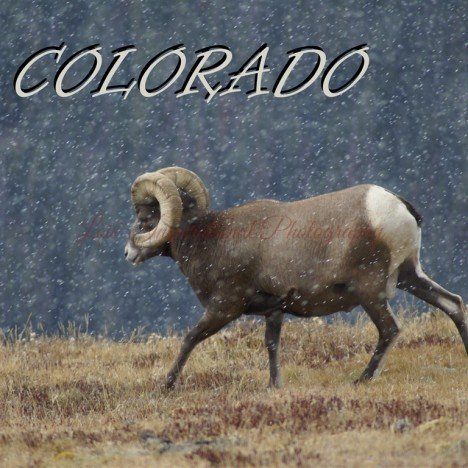 Colorado Big Horn Sheep