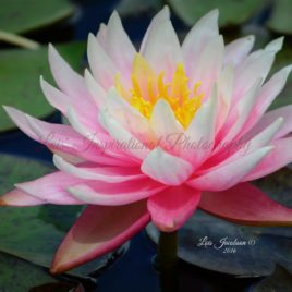 Water lily 0005