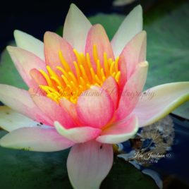Waterlily 0002